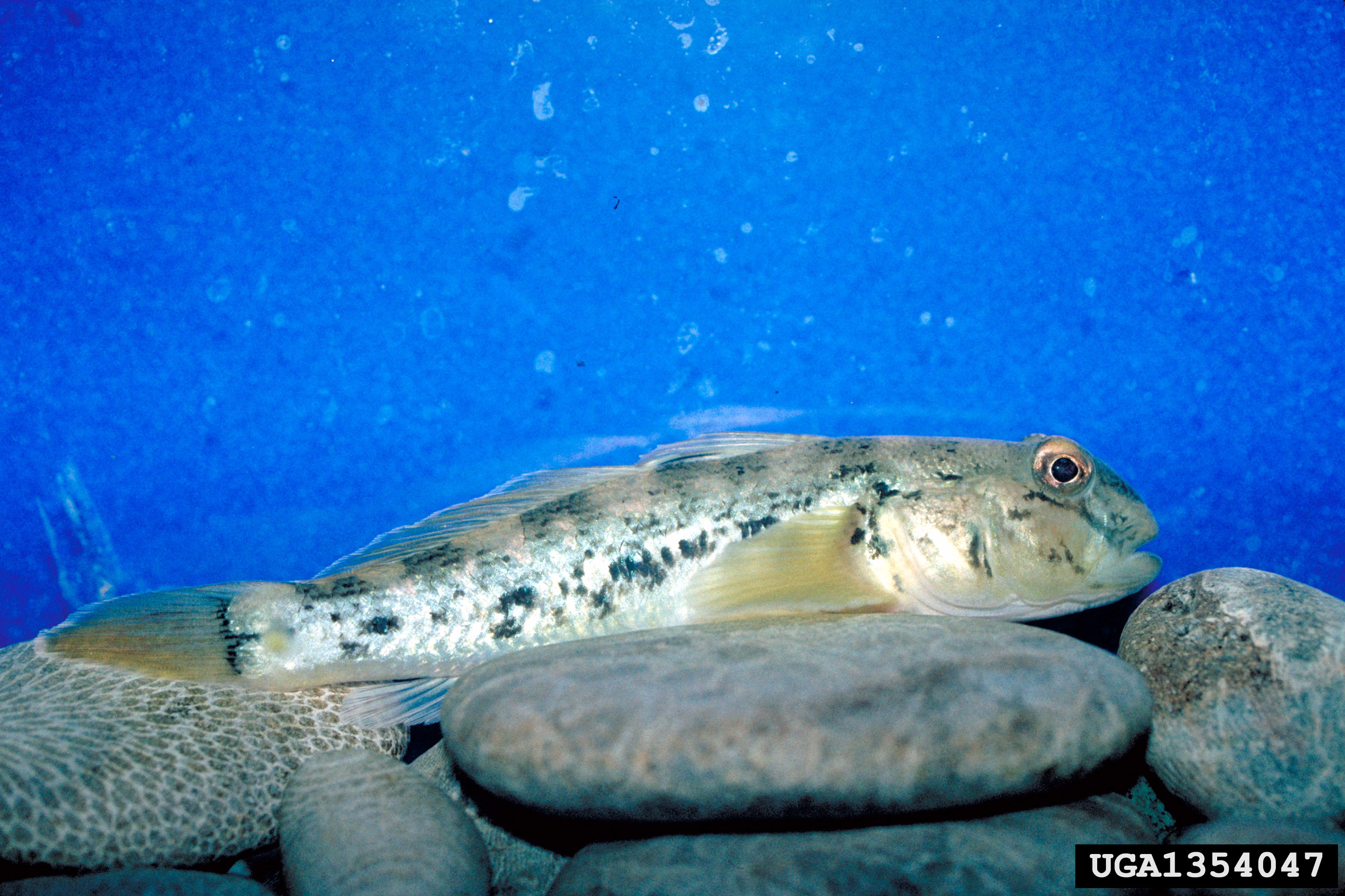 RoundGoby (Center for Great Lakes and Aquatic Sciences Archive_UnivofMich_BugwoodDOTorg.jpg