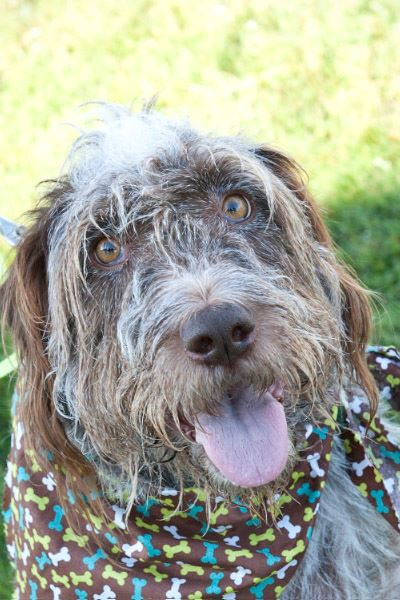 Wirehair Dog