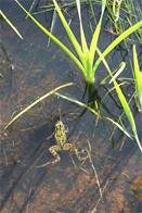 Frog in wetlands