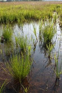 Wetlands grass
